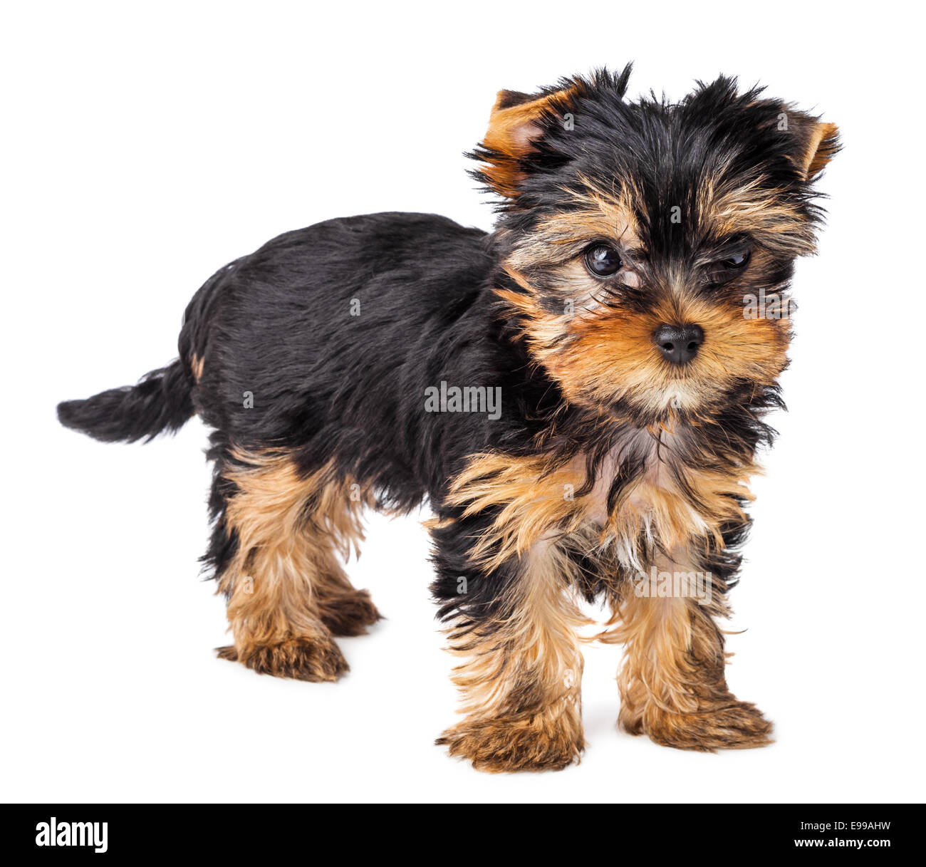 Yorkshire Terrier Puppy Standing 2 Months Old Isolated On White