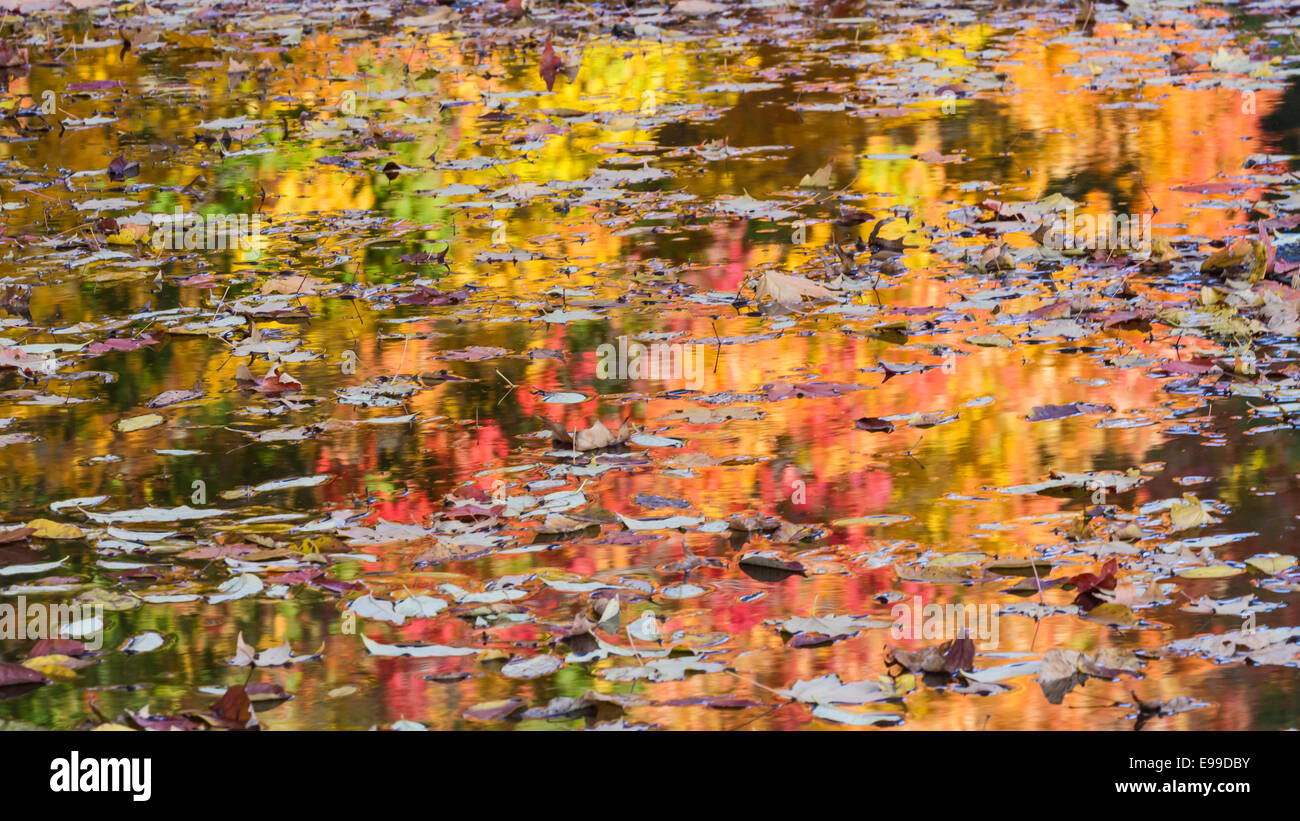 Autumn leaves float on the surface of water with colorful trees reflected behind in Prospect Park, Brooklyn. - Stock Image