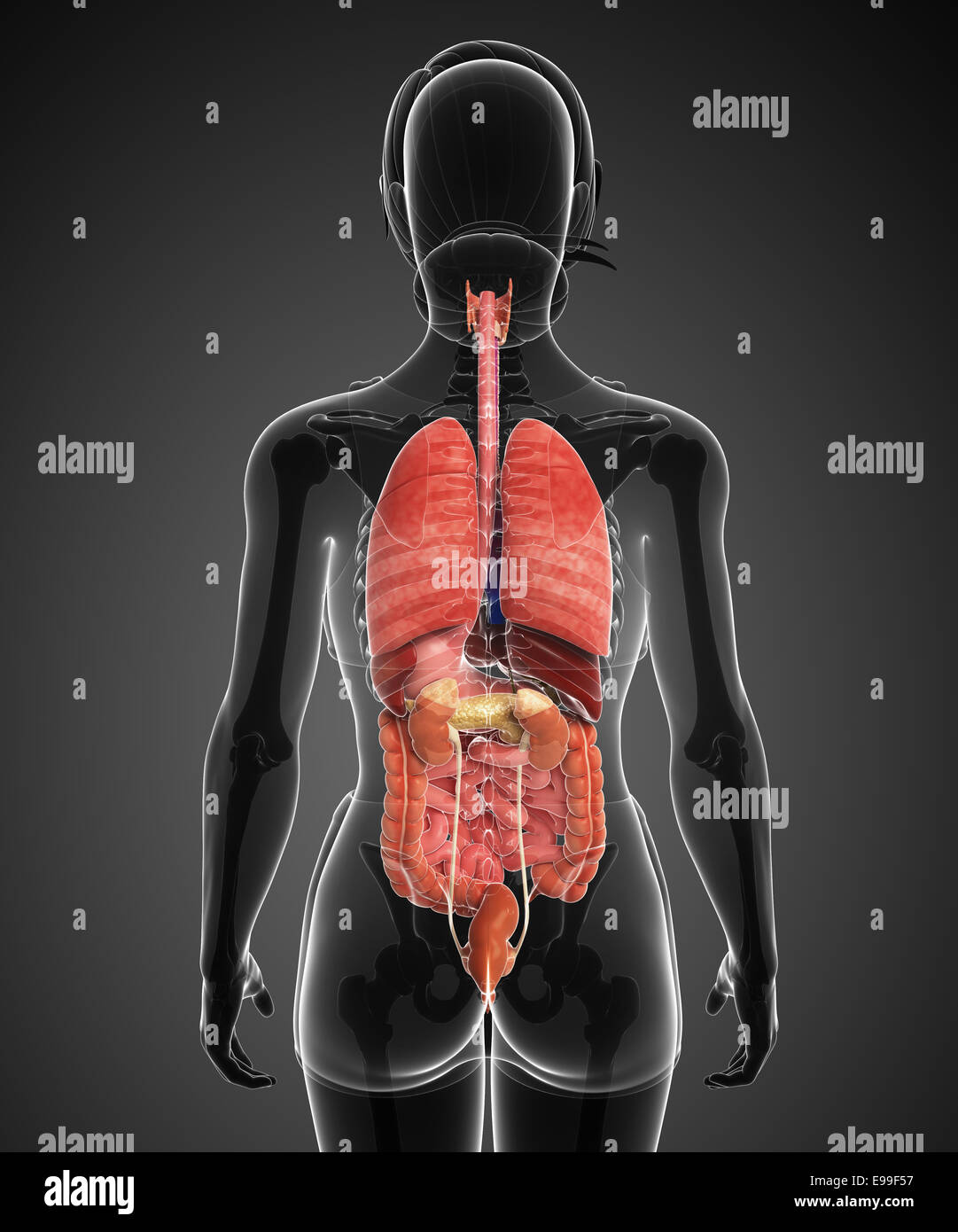 Illustration of female digestive system back view Stock Photo ...