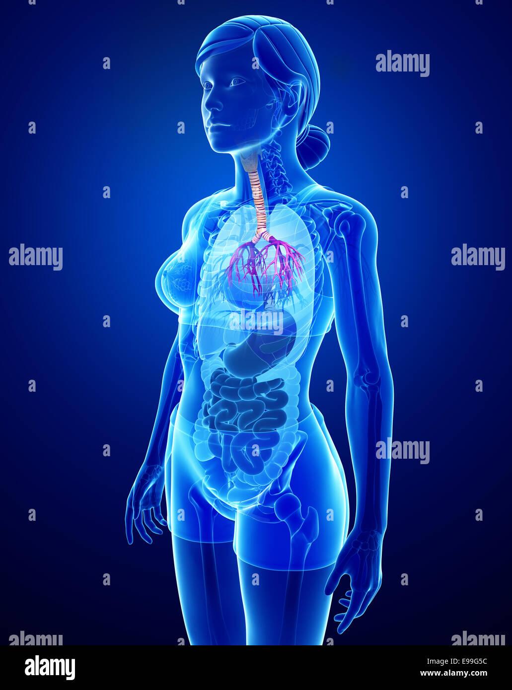 Illustration Of Female Throat Anatomy Stock Photo 74583640 Alamy