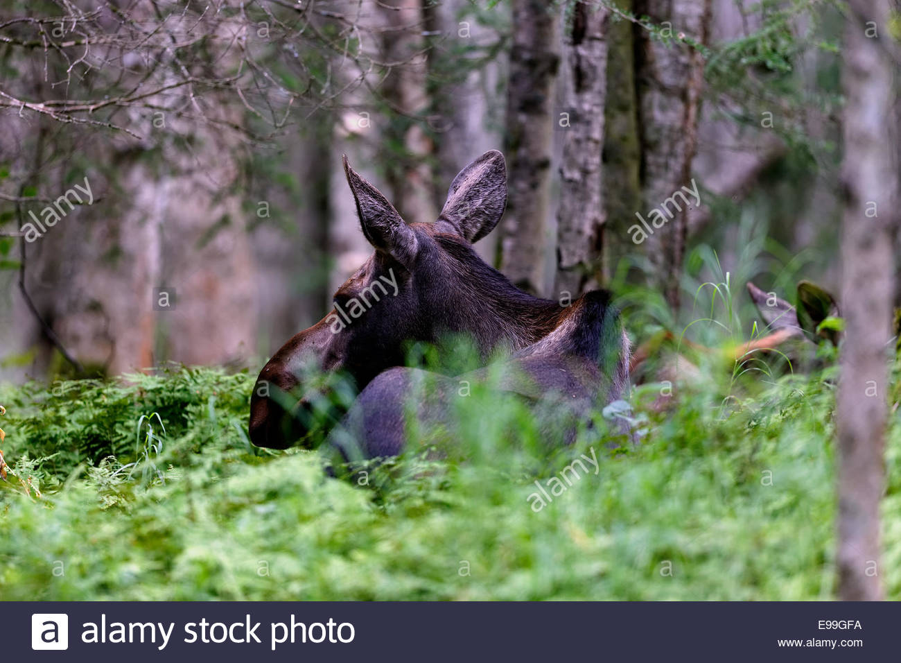 Cow Moose and Calf behind her, Anchorage, Alaska - Stock Image