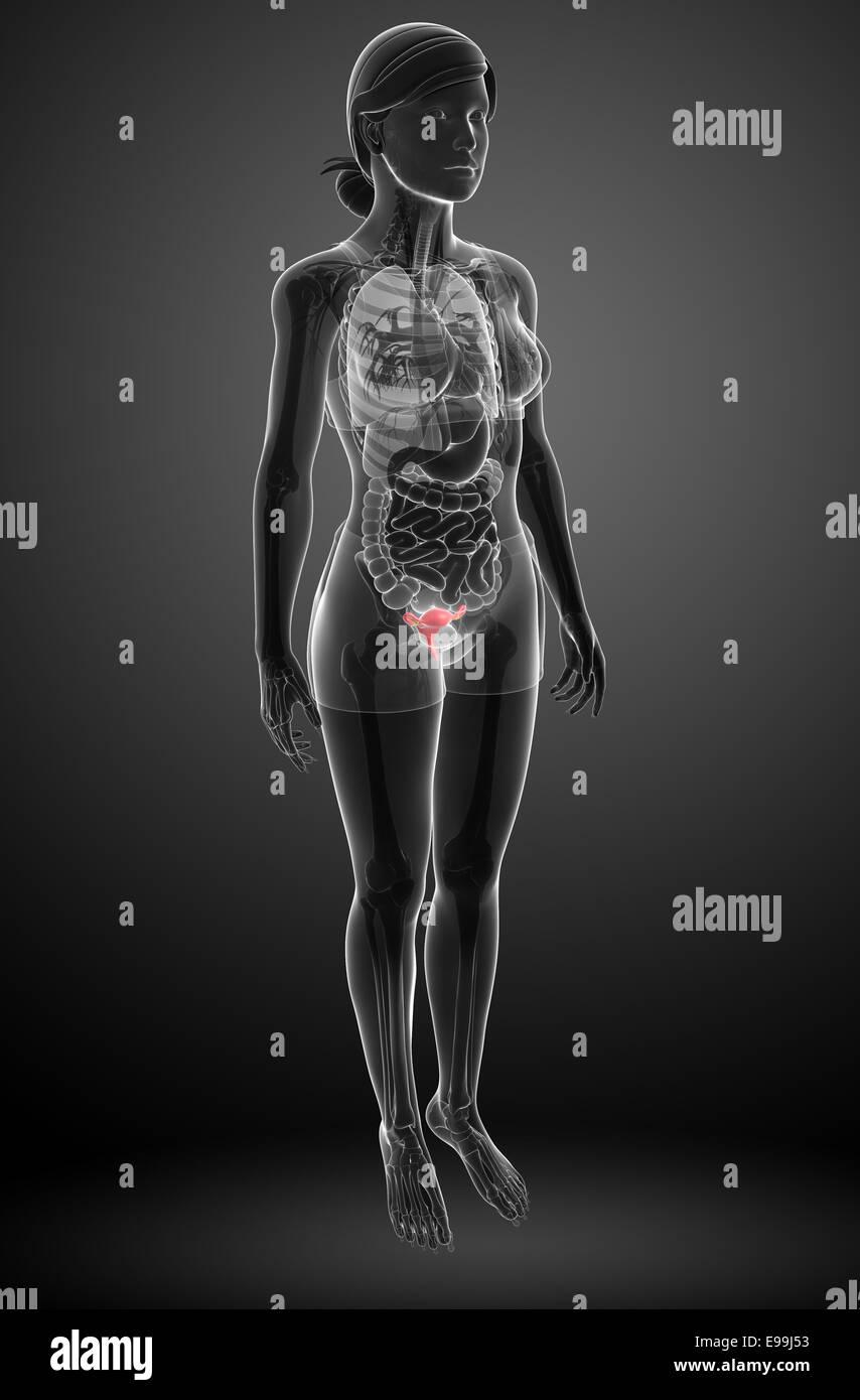illustration of female uterus anatomy Stock Photo: 74585199 - Alamy