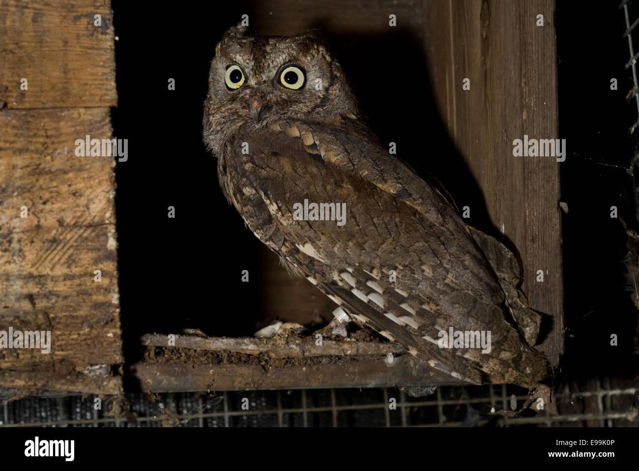 Scops owl, Otus scopus, Strigidae, Italy, Europe - Stock Image