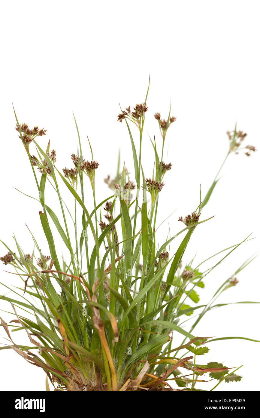 tuft young grass(Luzula campestris) on white - Stock Image