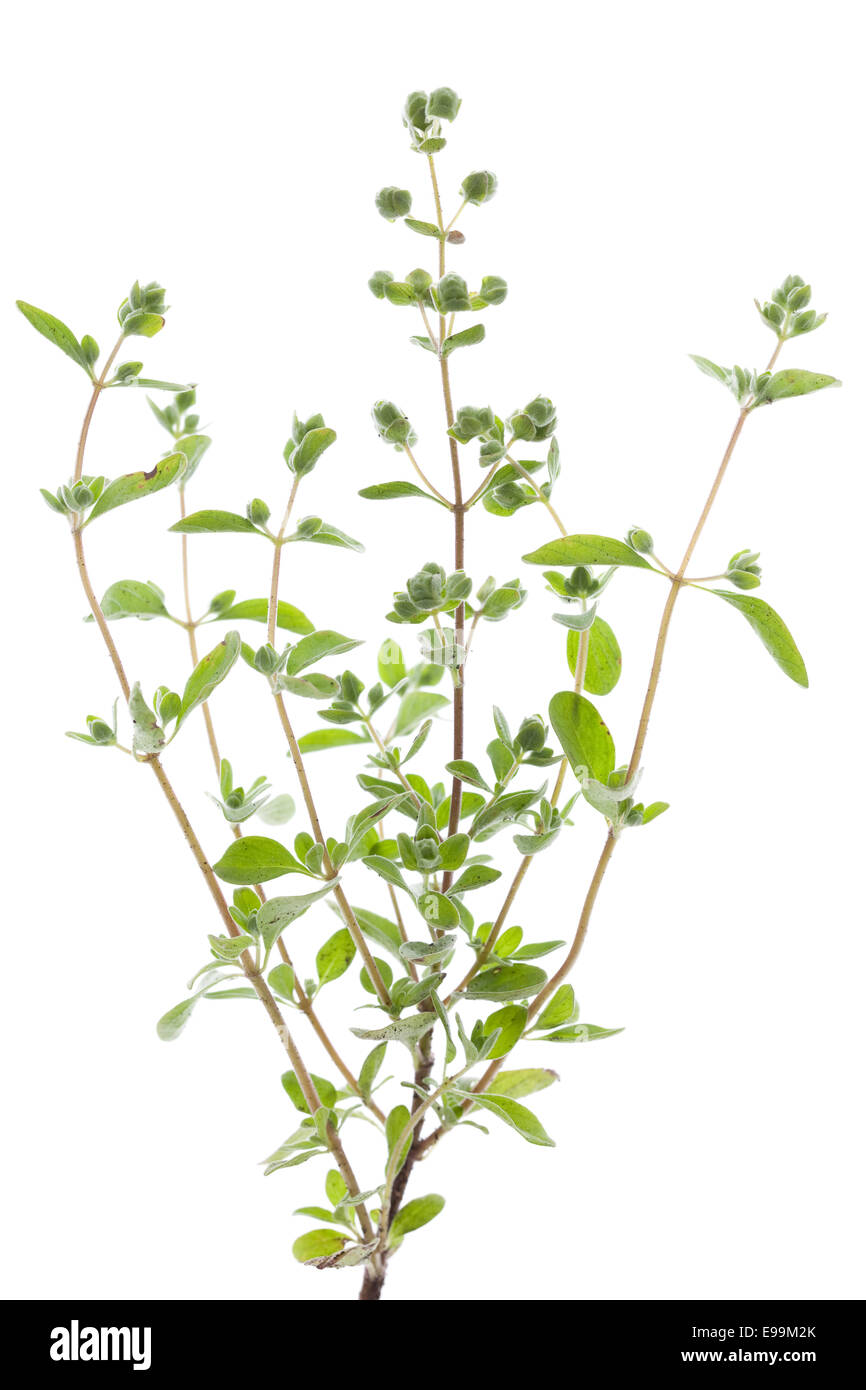 fresh marjoram(Origanum majorana) on white background - Stock Image