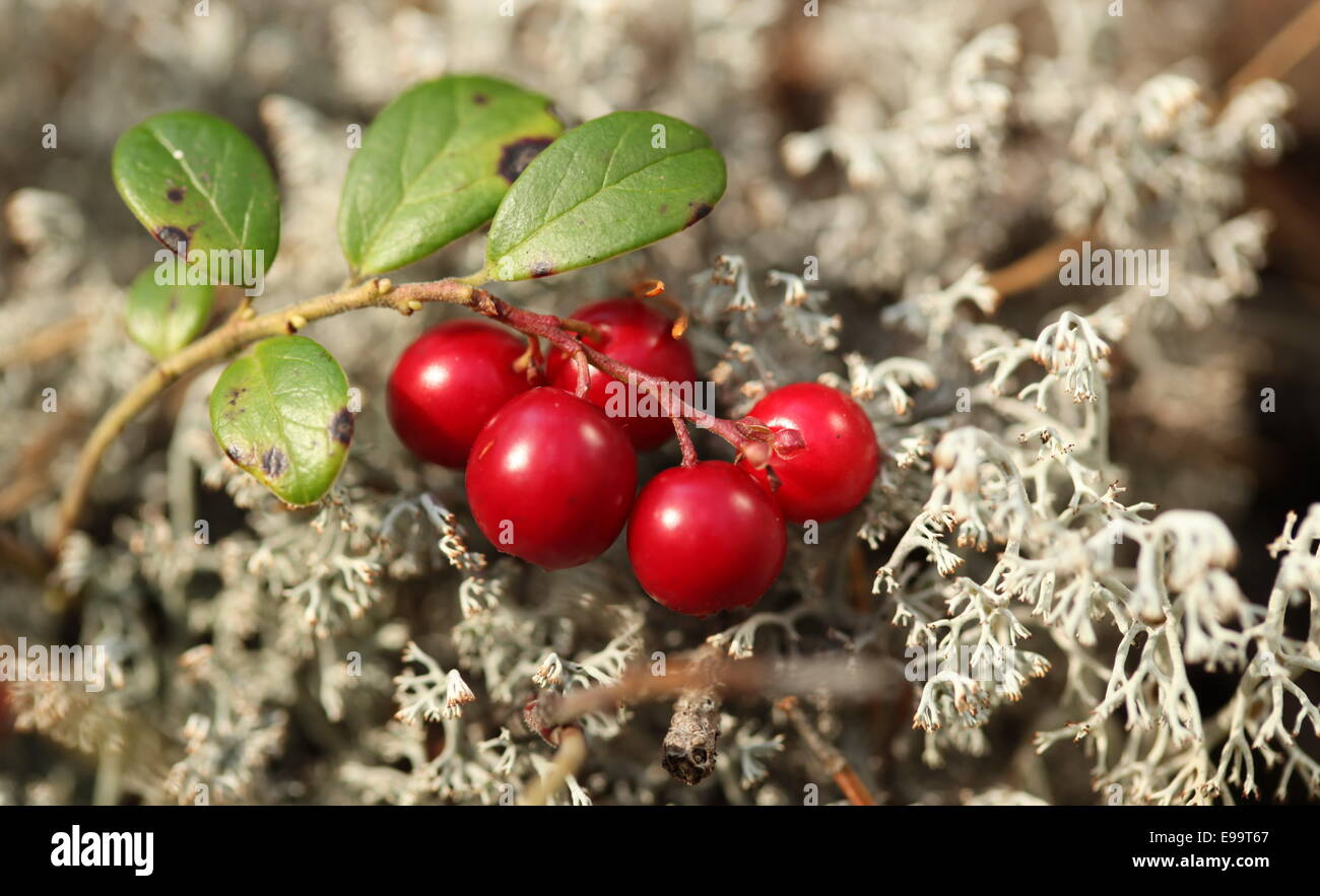 twig cranberries - Stock Image