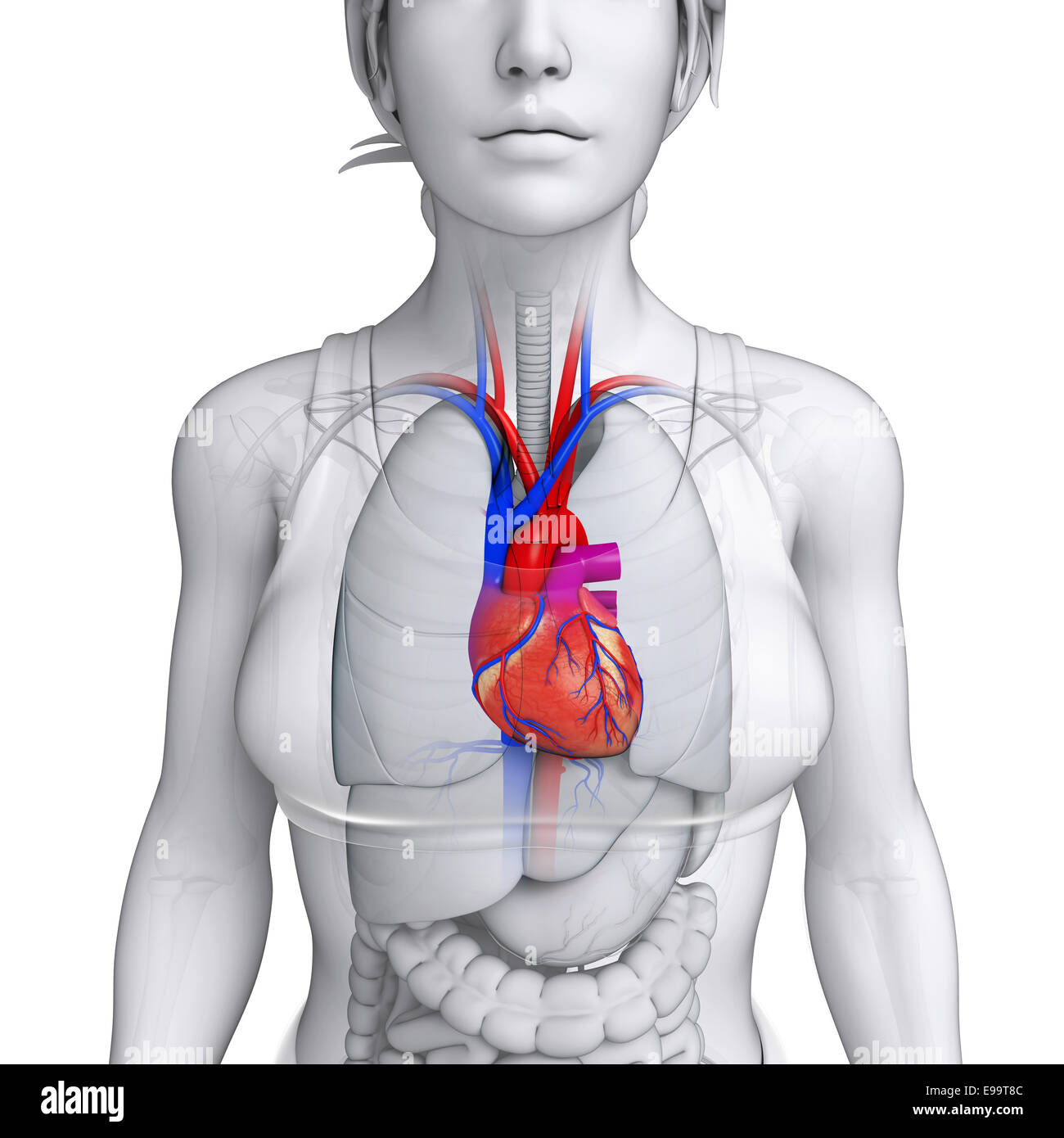 Illustration Of Female Heart Anatomy Stock Photo 74589996 Alamy