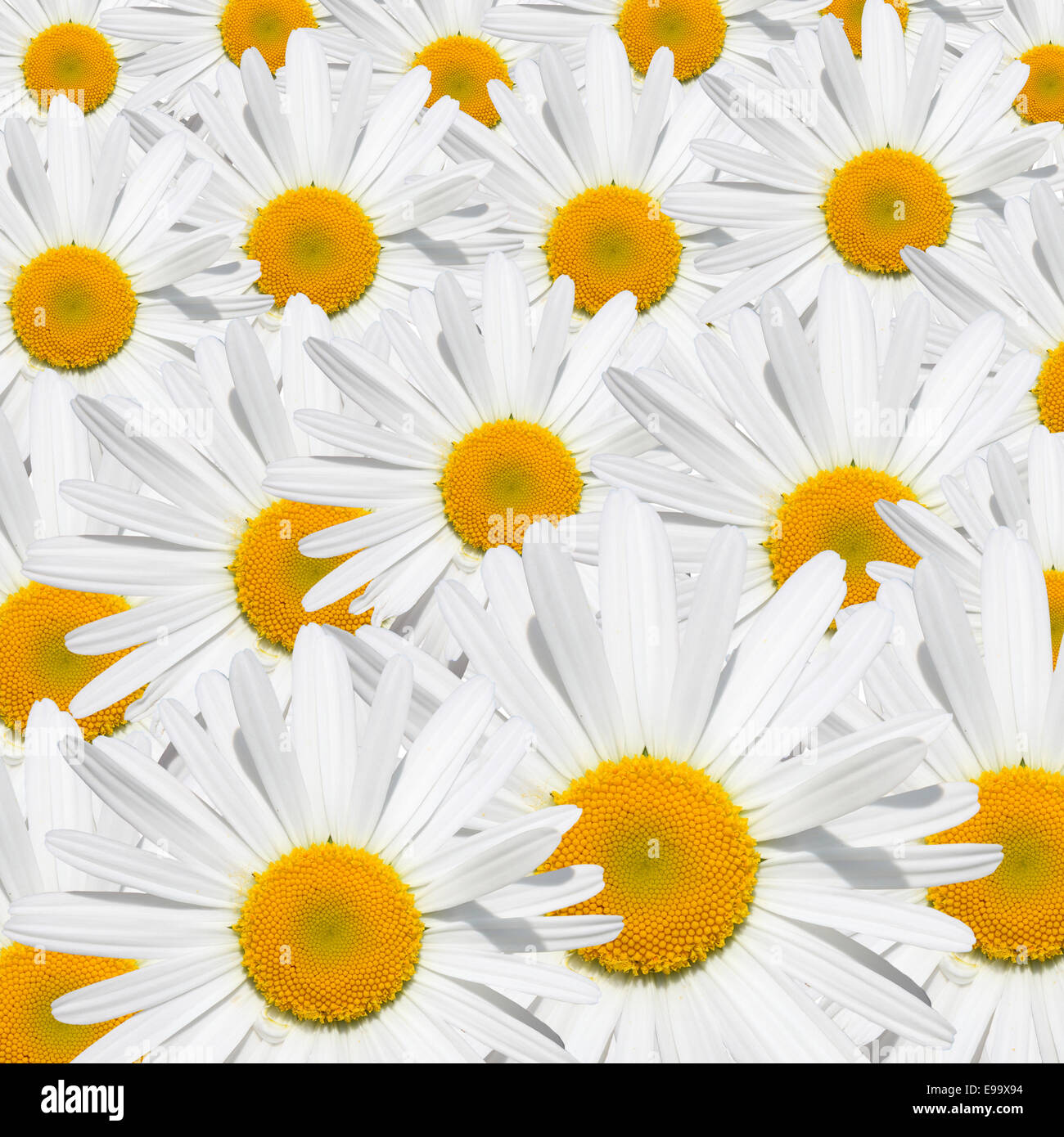Daisy flower texture - Stock Image