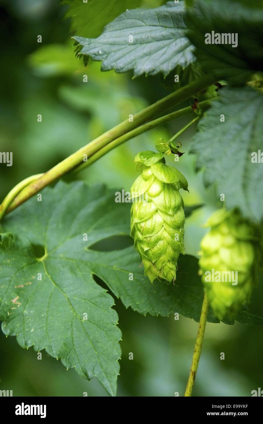 Hops Umbels - Stock Image