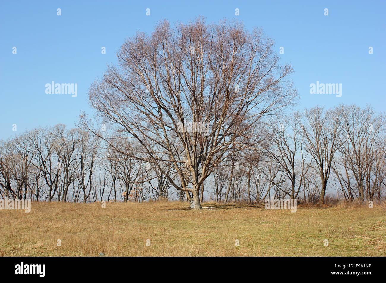 Oak tree in a field  devoid of leaves - Stock Image