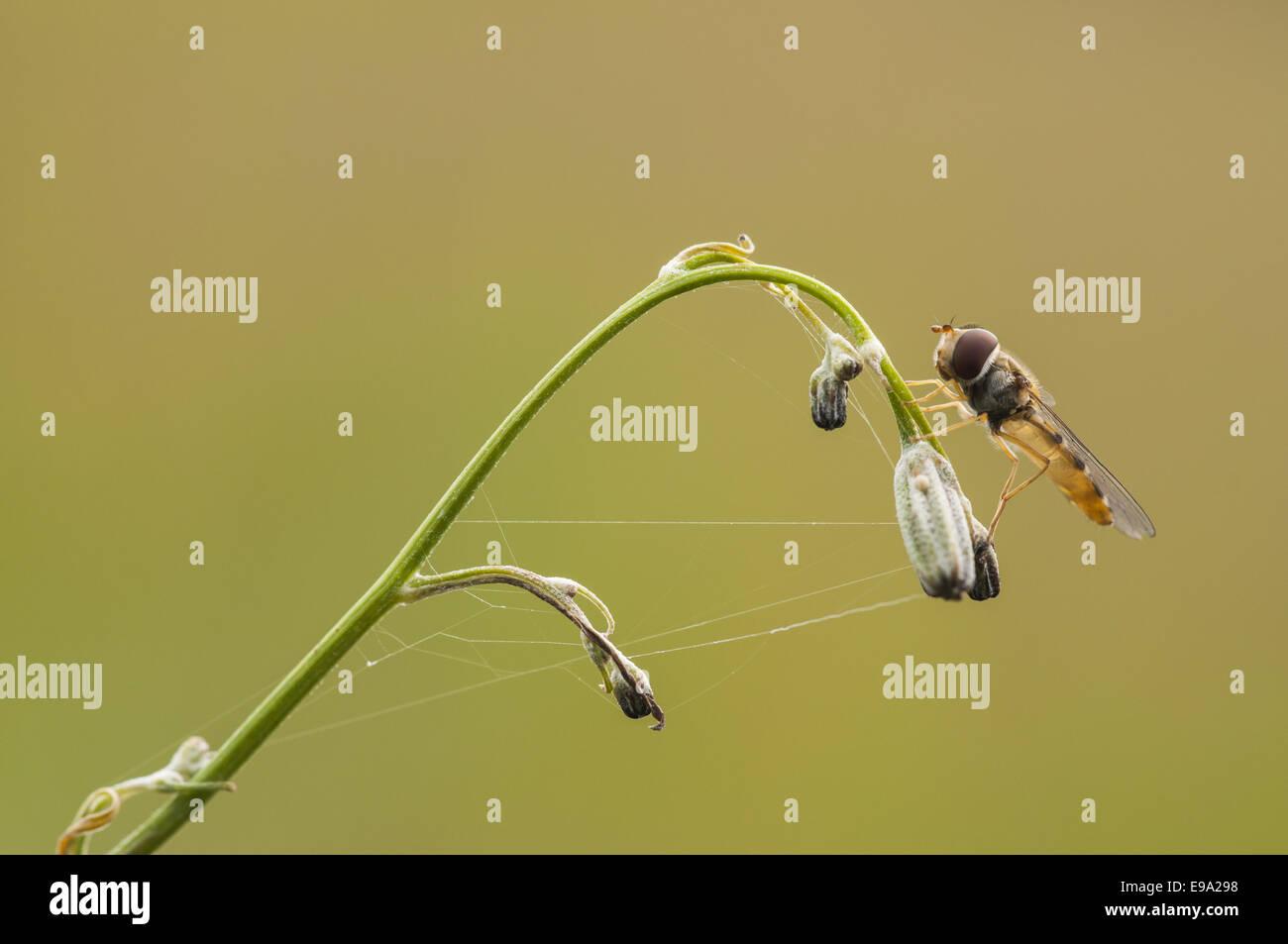 Hoverfly (Syrphus ribesii), female, Germany - Stock Image