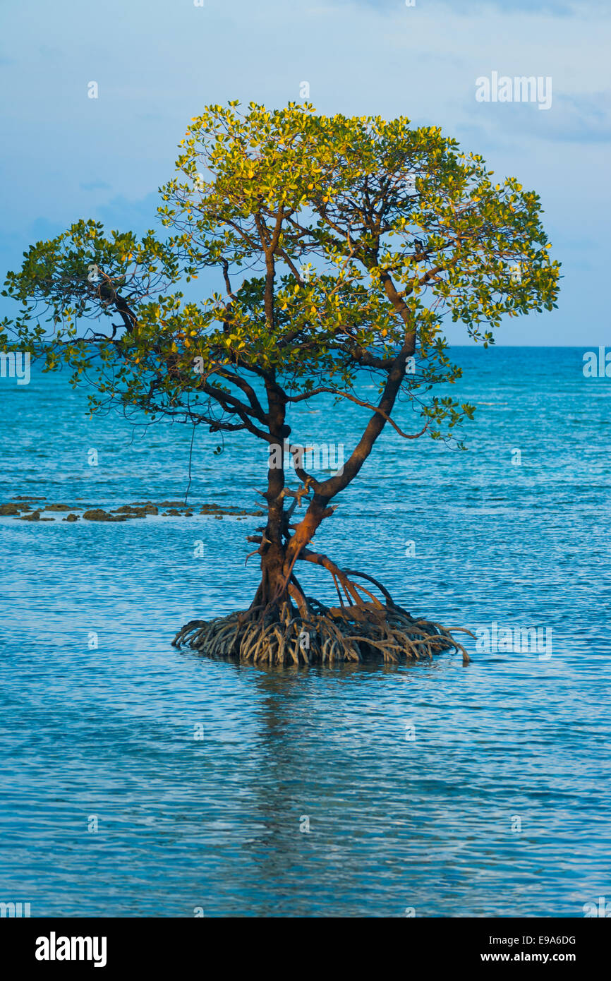 Centered Solitary Mangrove Tree Roots Ocean - Stock Image