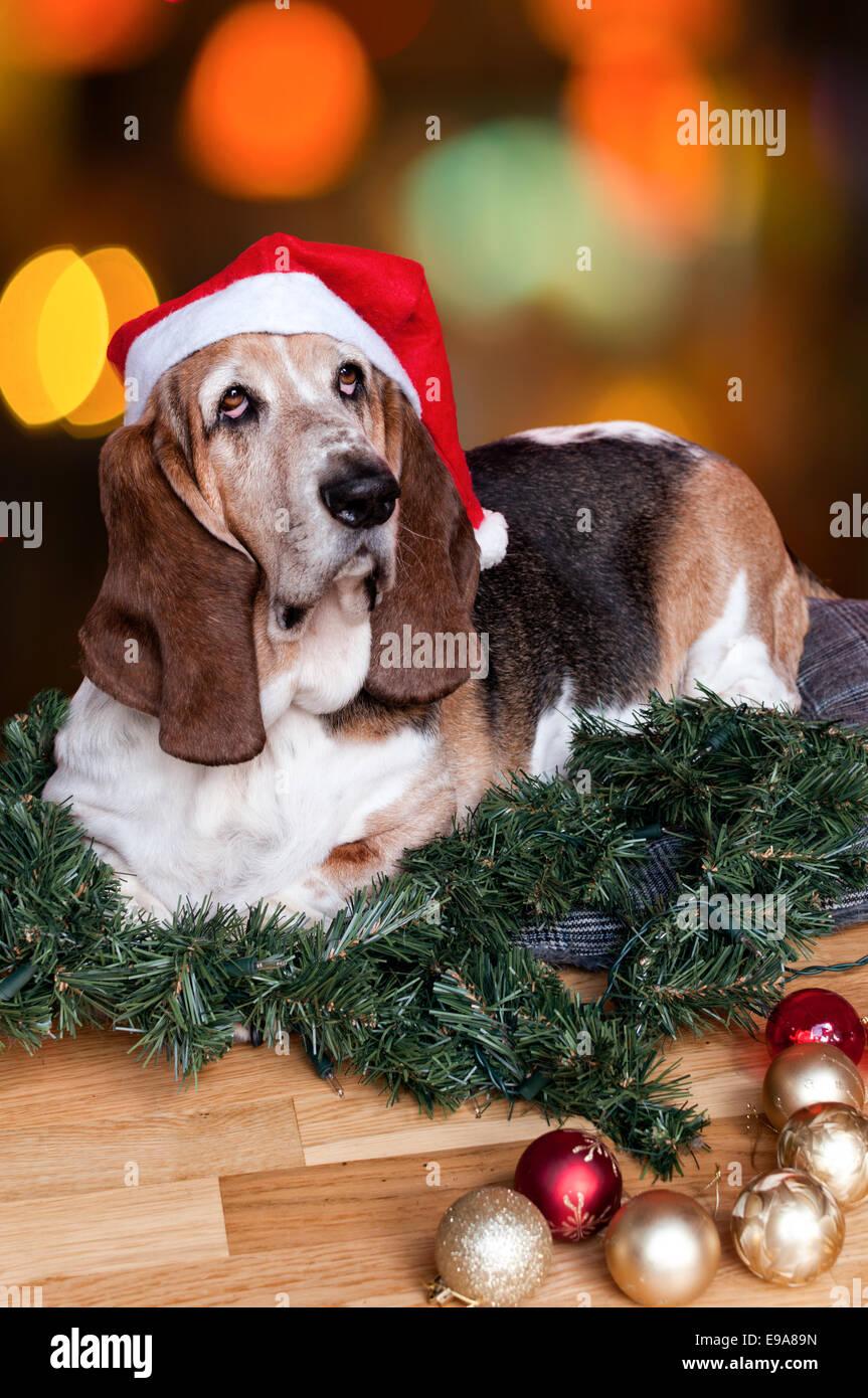 Christmas Basset Hound! - Stock Image