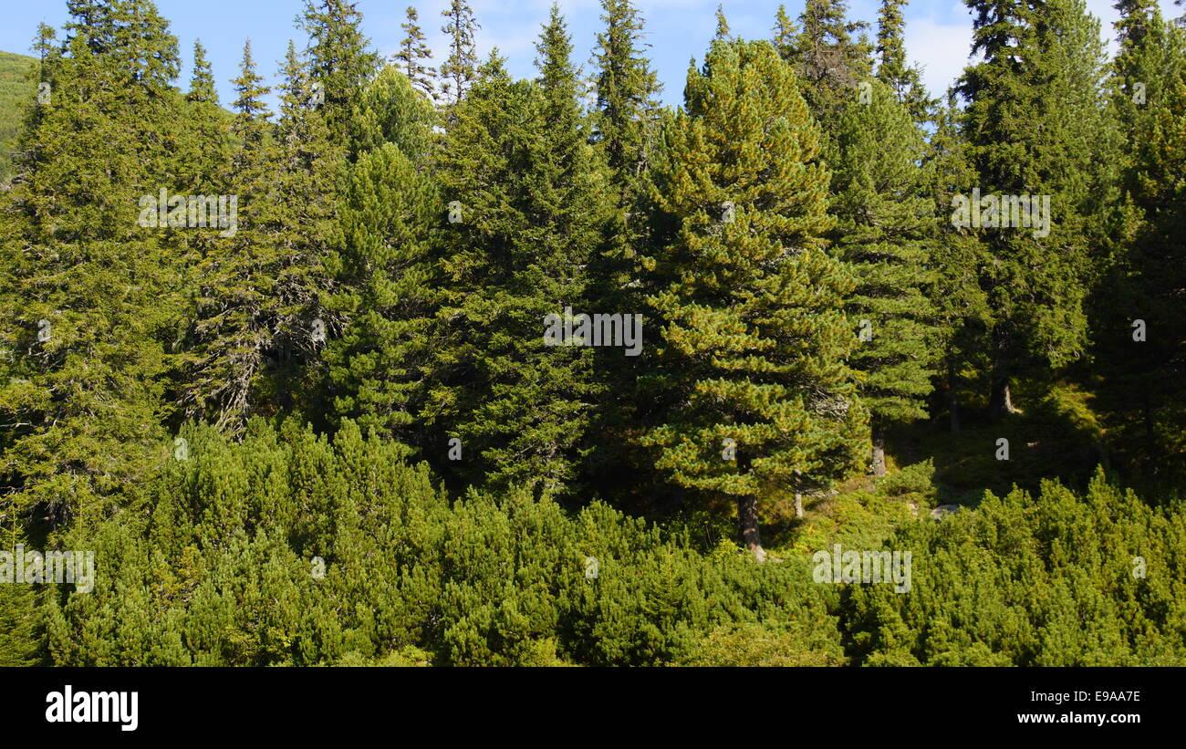 Coniferous forest, Est Europe, Carpathian mountains. - Stock Image