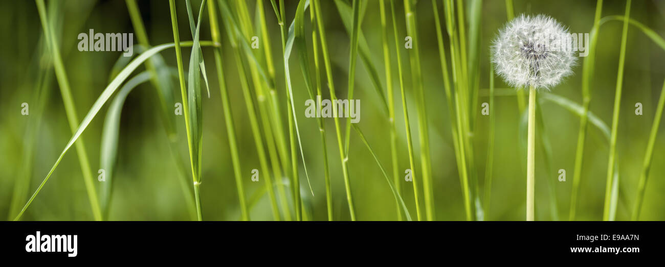common dandelion (Taraxacum sect. Ruderalia) - Stock Image