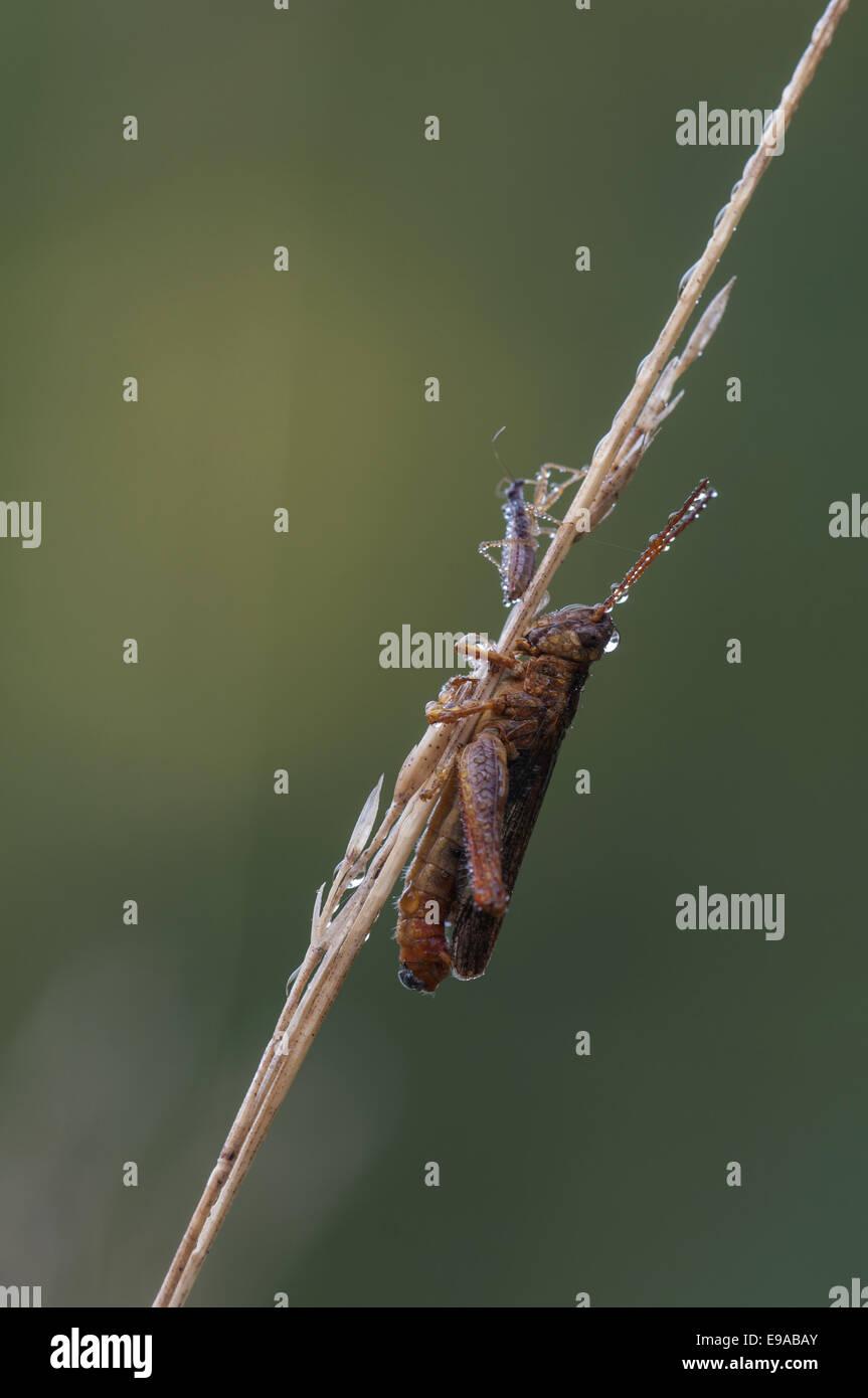 Grasshoppfer  (Chorthippus brunneus) - Stock Image