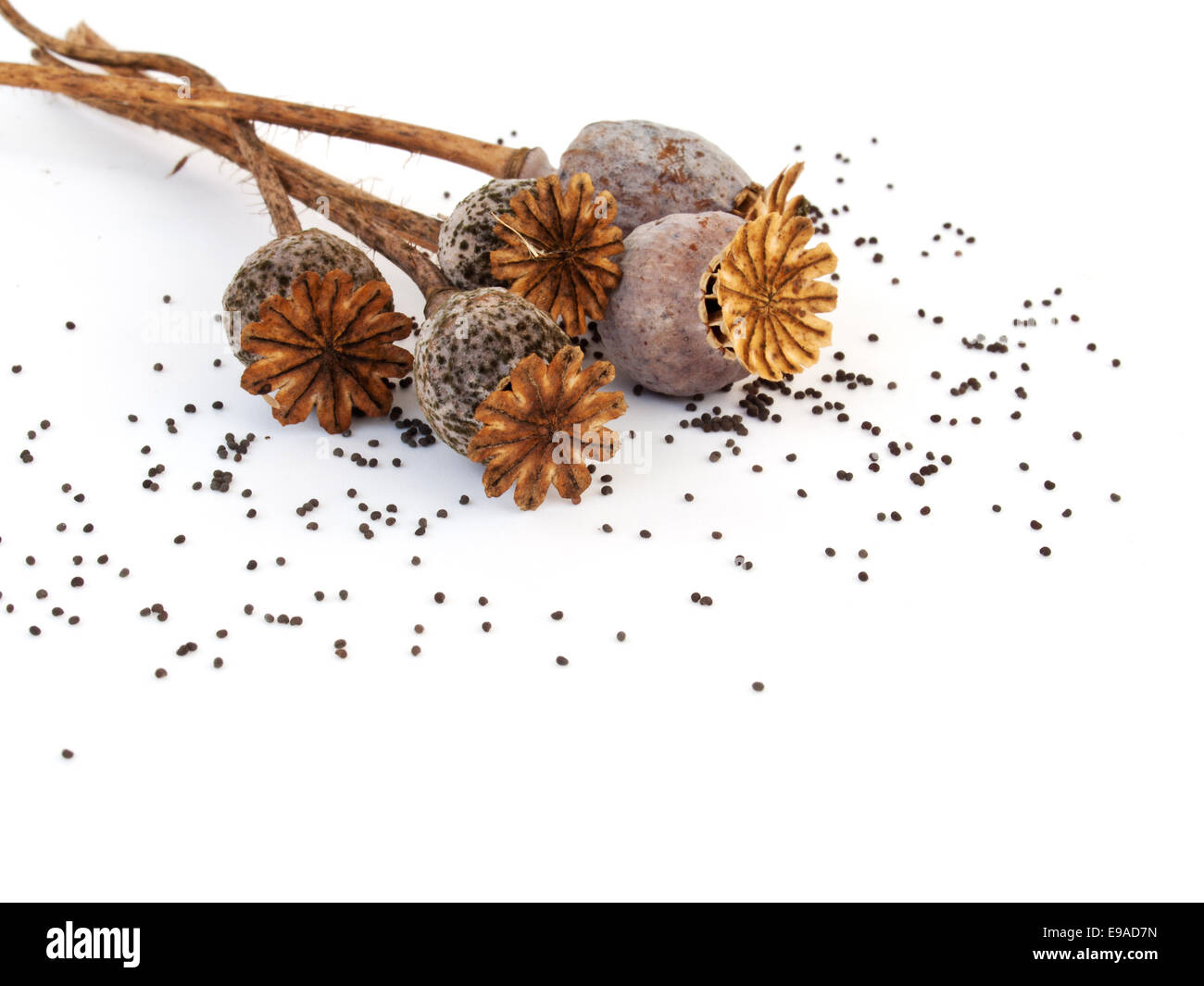 Poppy heads and seeds - Stock Image