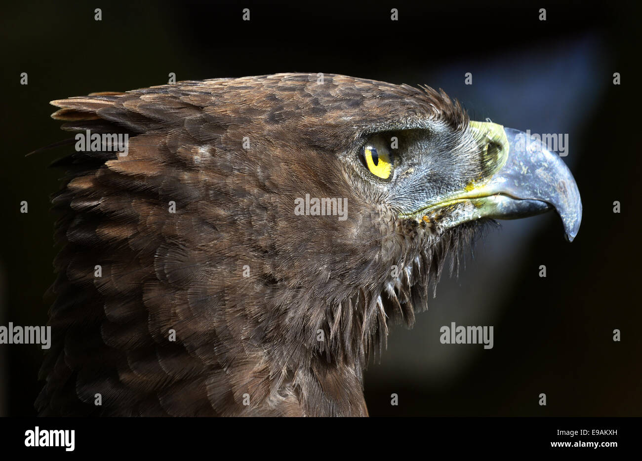 Close-up Portrait of a martial eagle (Polemaetus bellicosus), South Africa - Stock Image