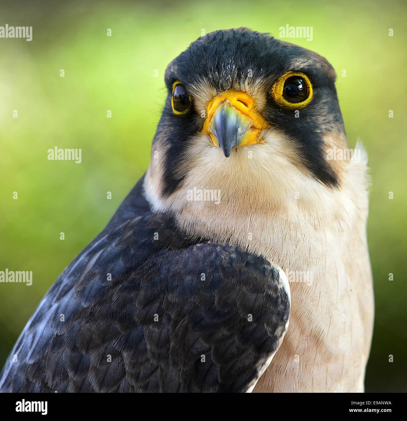 Close up  Portrait of Lanner falcon (Falco biarmicus) - Stock Image