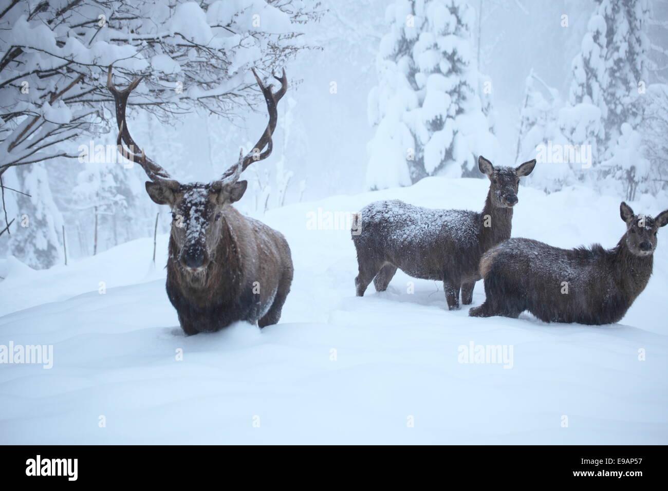 red deers Stock Photo