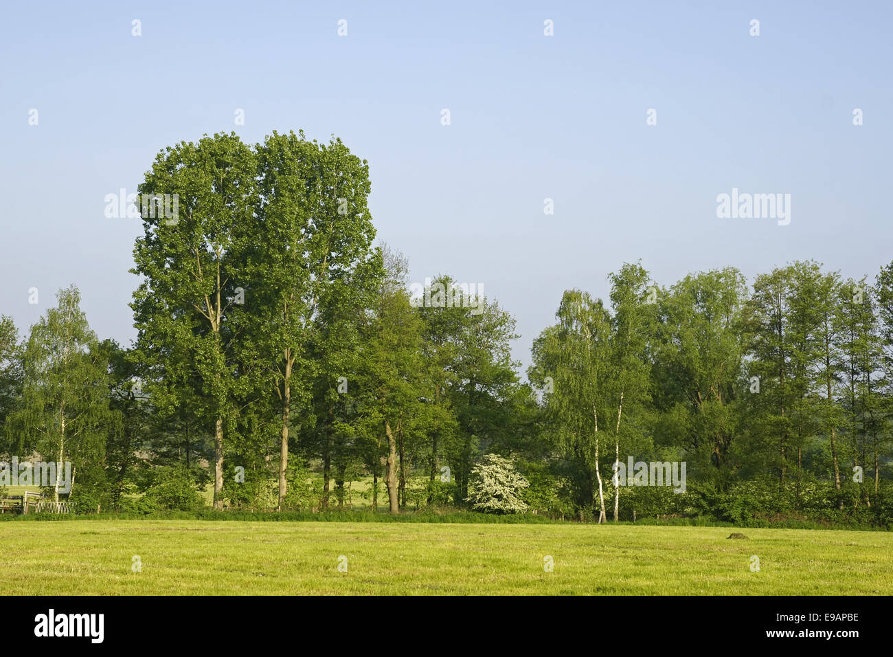 Summerly landscape with broadleaf tree - Stock Image