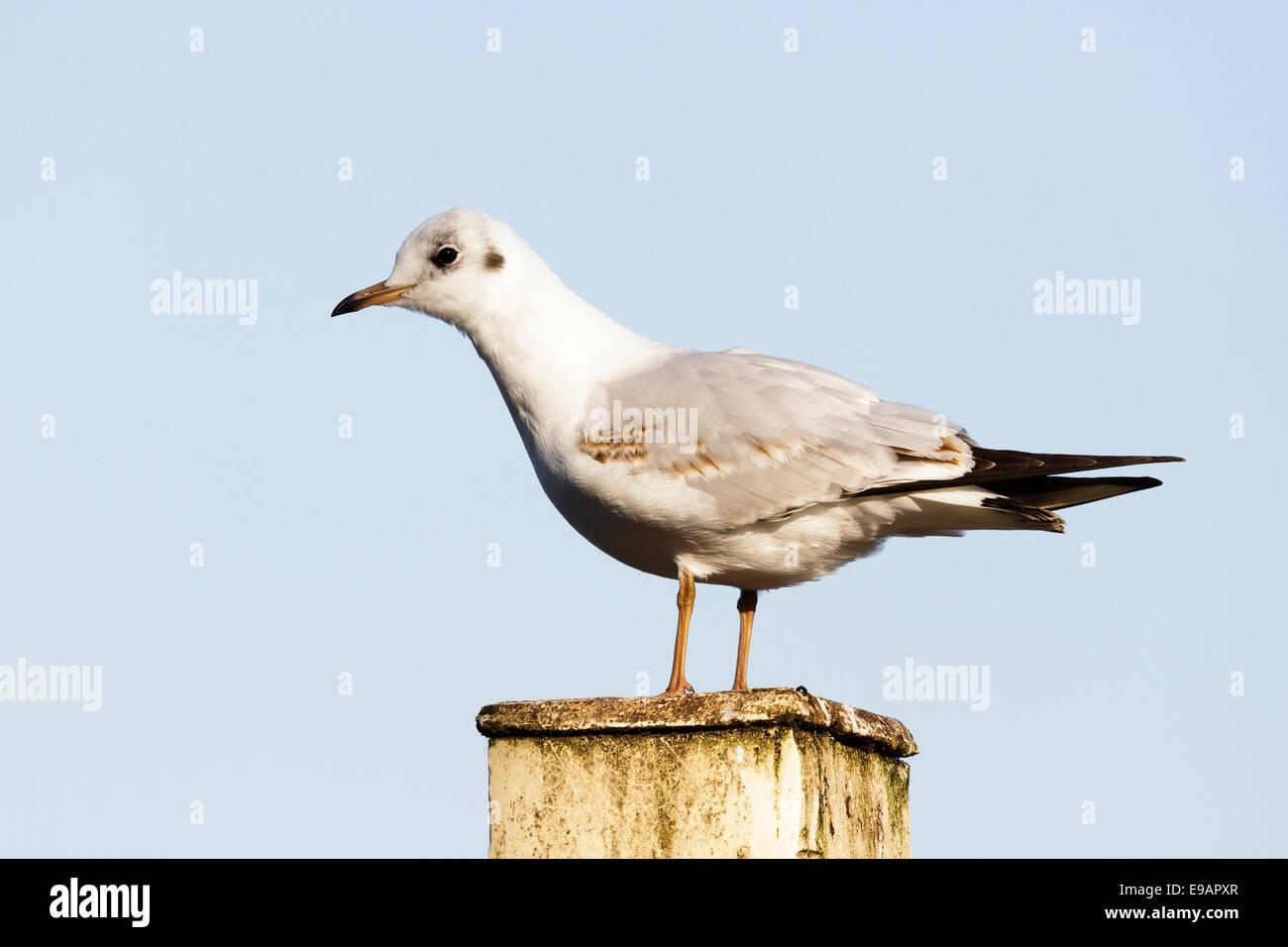 Black headed gull (Chroicocephalus ridibundus) - Stock Image