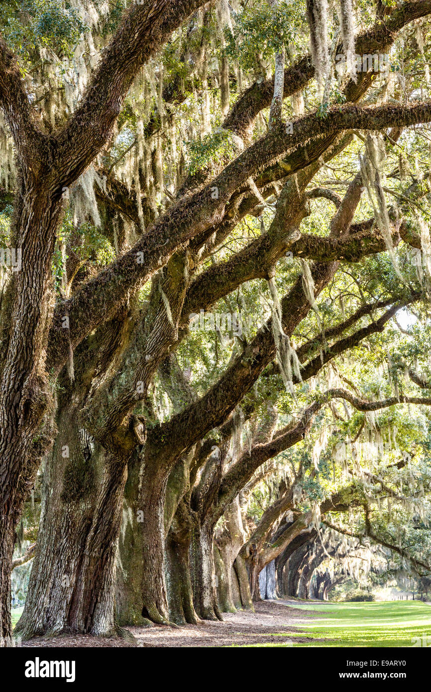 Avenue of Oaks draped with spanish moss at Boone Hall Plantation in Mt Pleasant, South Carolina. - Stock Image