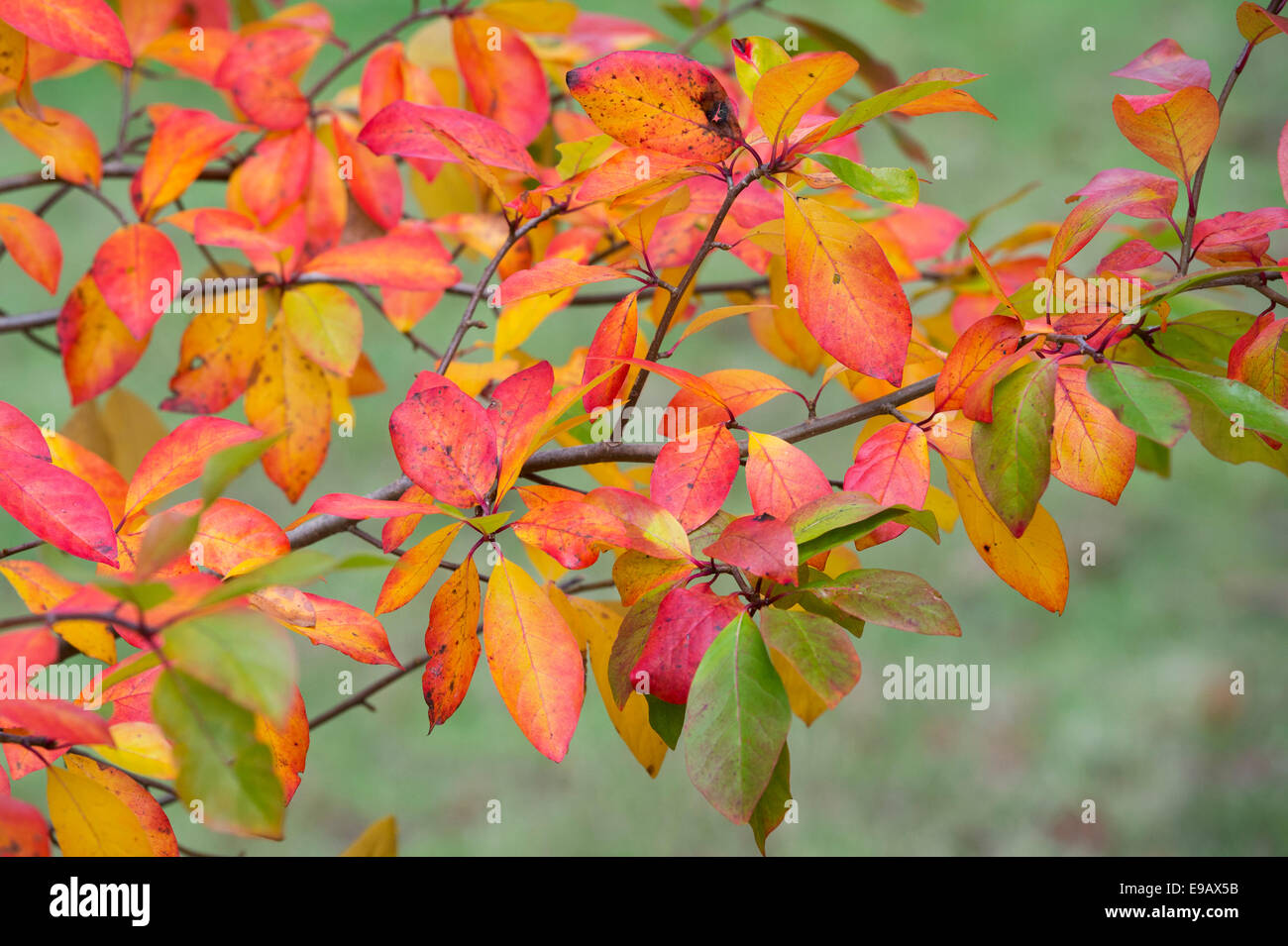 Nyssa sylvatica 'Wisley Bonfire'. Black gum 'Wisley Bonfire' leaves in autumn - Stock Image