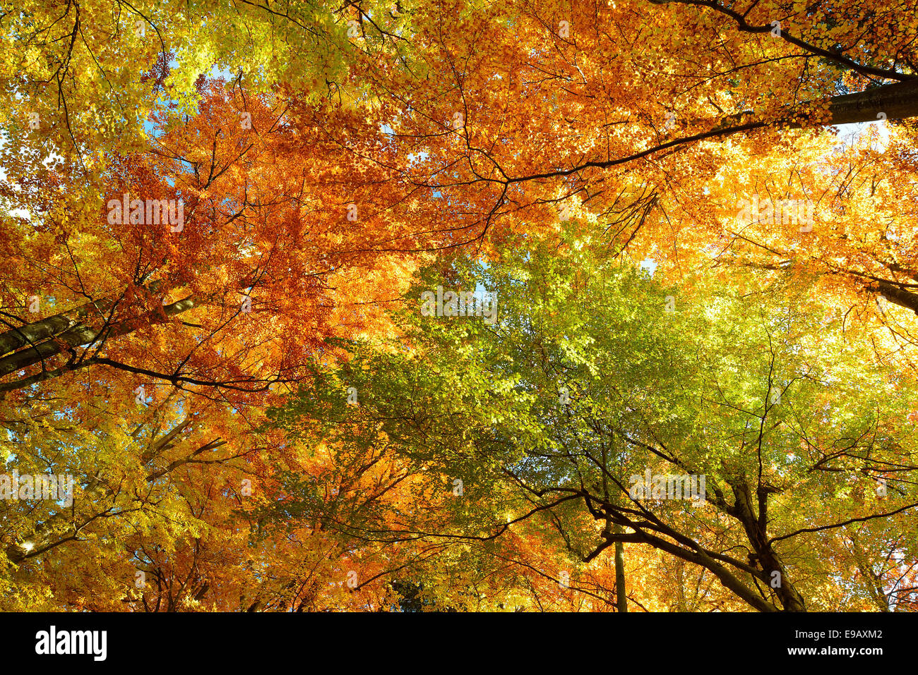 Autumnal trees, Bavaria, Germany Stock Photo