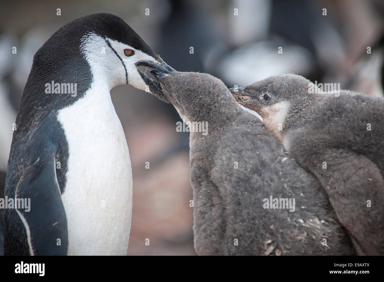 Chinstrap Penguin (Pygoscelis antarcticus) feeding a chick, Hannah Point, Livingston Iceland, Antarctica - Stock Image