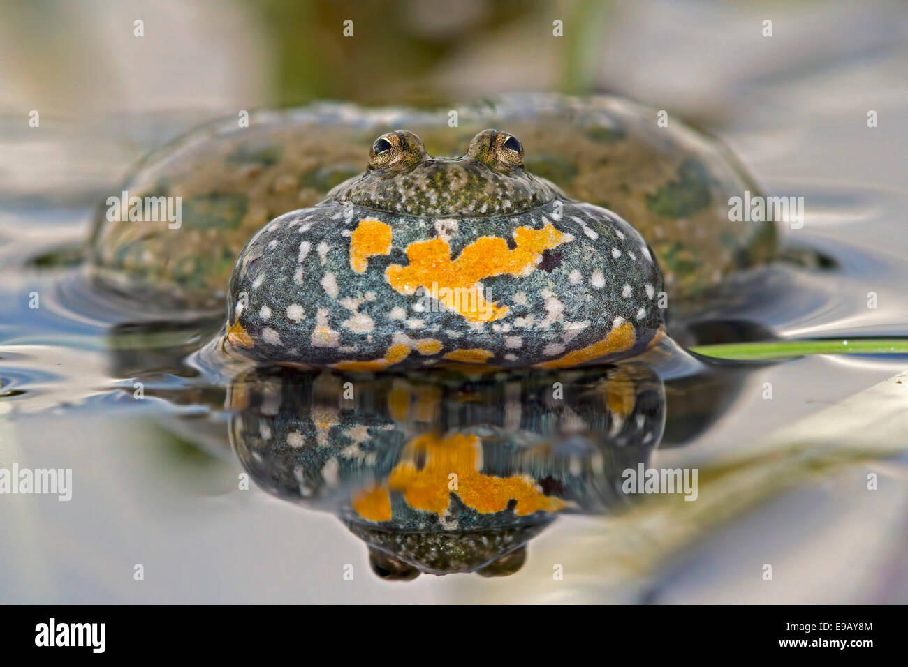 Fire-bellied Toad or Firebelly Toad (Bombina bombina), croaking, reflection, seepage water, Middle Elbe, Saxony - Stock Image