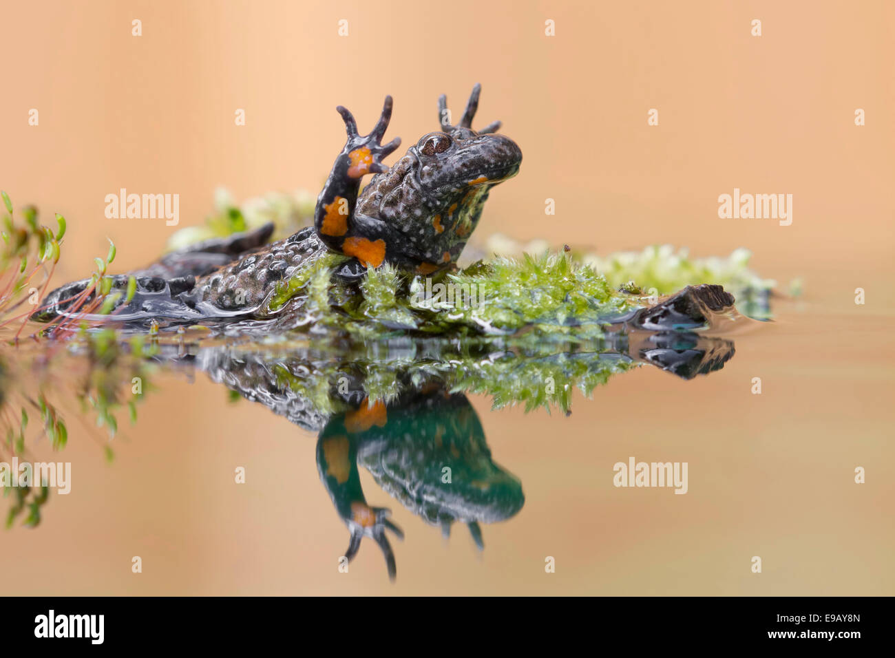 Fire-bellied Toad or Firebelly Toad (Bombina bombina), Unkenreflex defensive posture, reflection, seepage water, - Stock Image