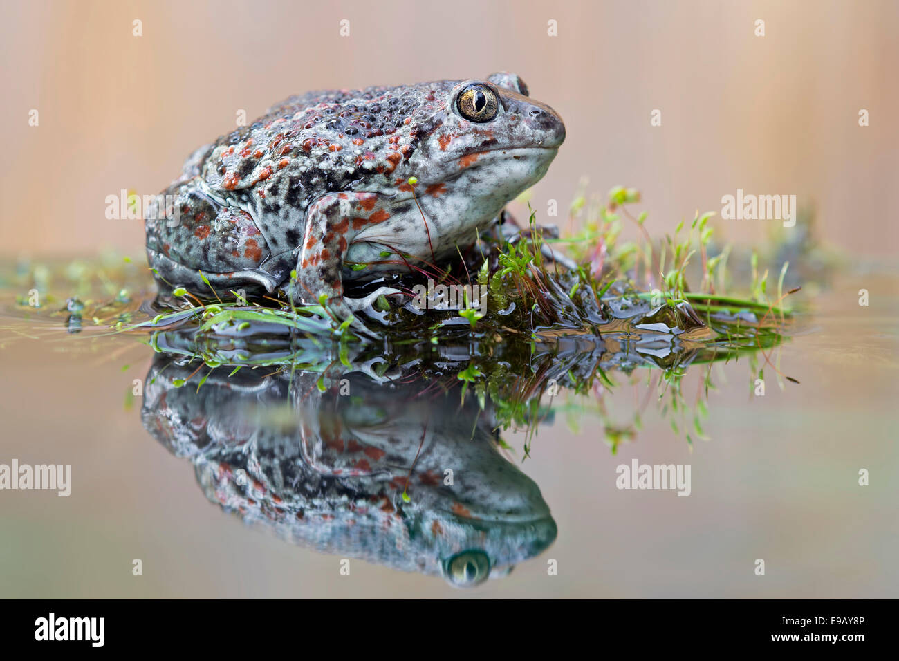 Spadefoot (Pelobates fuscus), reflection, seepage water, Middle Elbe, Saxony-Anhalt, Germany - Stock Image