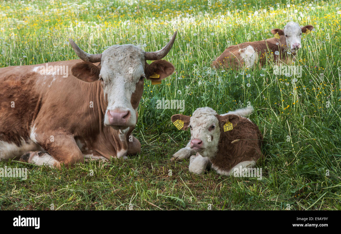 Domestic Cattle (Bos primigenius taurus) with calves resting in a pasture, Thuringia, Germany - Stock Image