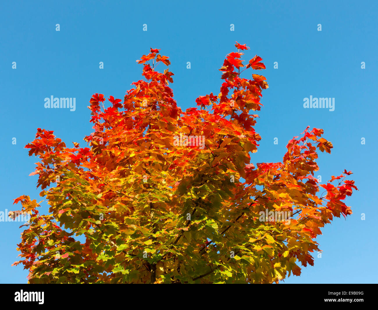 Maple (Acer sp.) with autumn colors Stock Photo