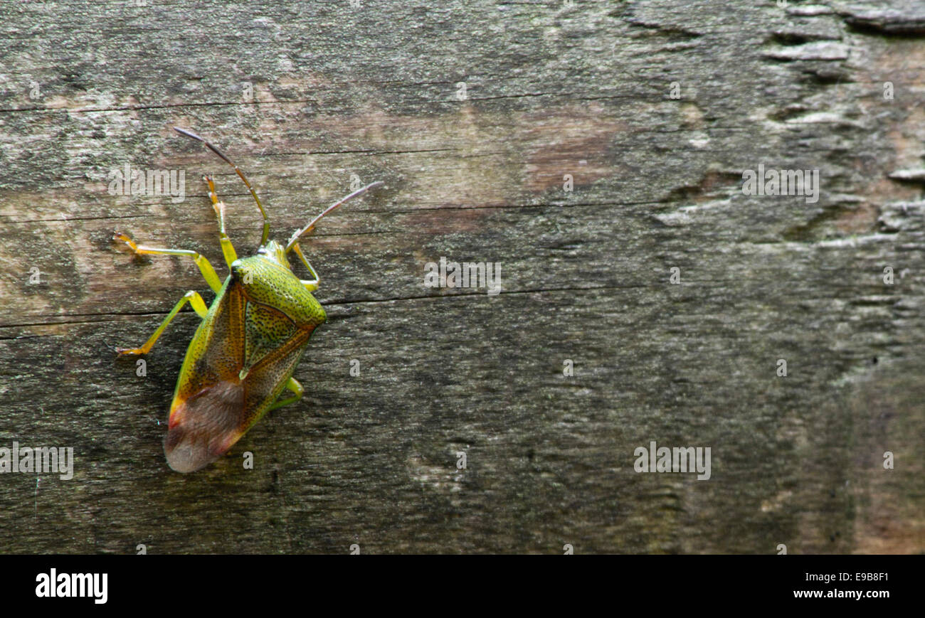 Shield Bug on his merry way - Stock Image