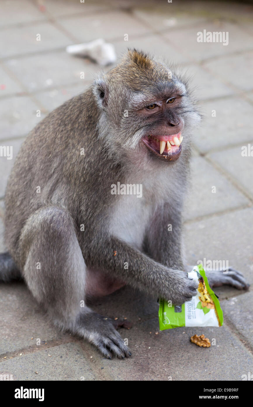 Angry monkey, 'Long-tailed macaque' 'Macaca fascicularis', [Ubud Monkey Forest], Bali, Indonesia - Stock Image