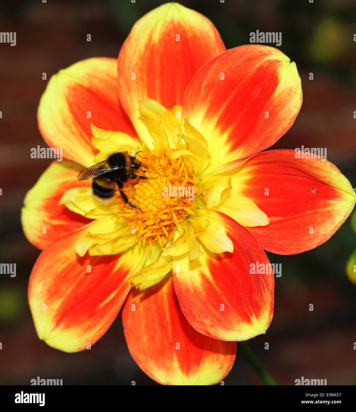 Honey Bee collecting Pollen from a red and yellow Dahlia flower - Stock Image