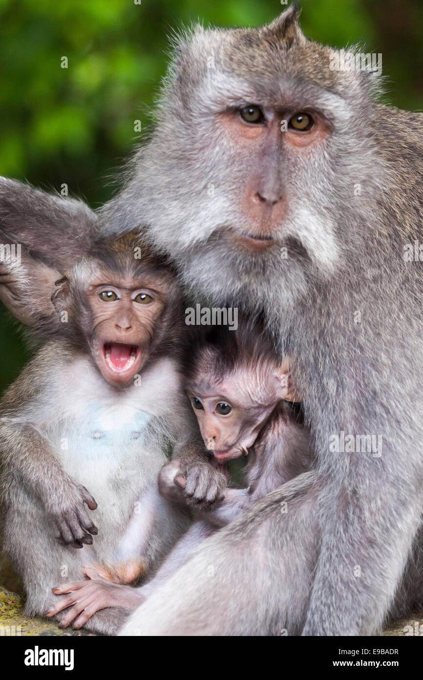 Monkey family group portrait, 'Long-tailed macaques' 'Macaca fascicularis', [Ubud Monkey Forest], - Stock Image