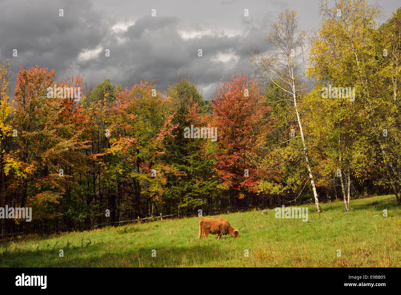 Highland cattle grazing in pasture surrounded by Fall colors Trapp Hill road Stowe Vermont USA - Stock Image