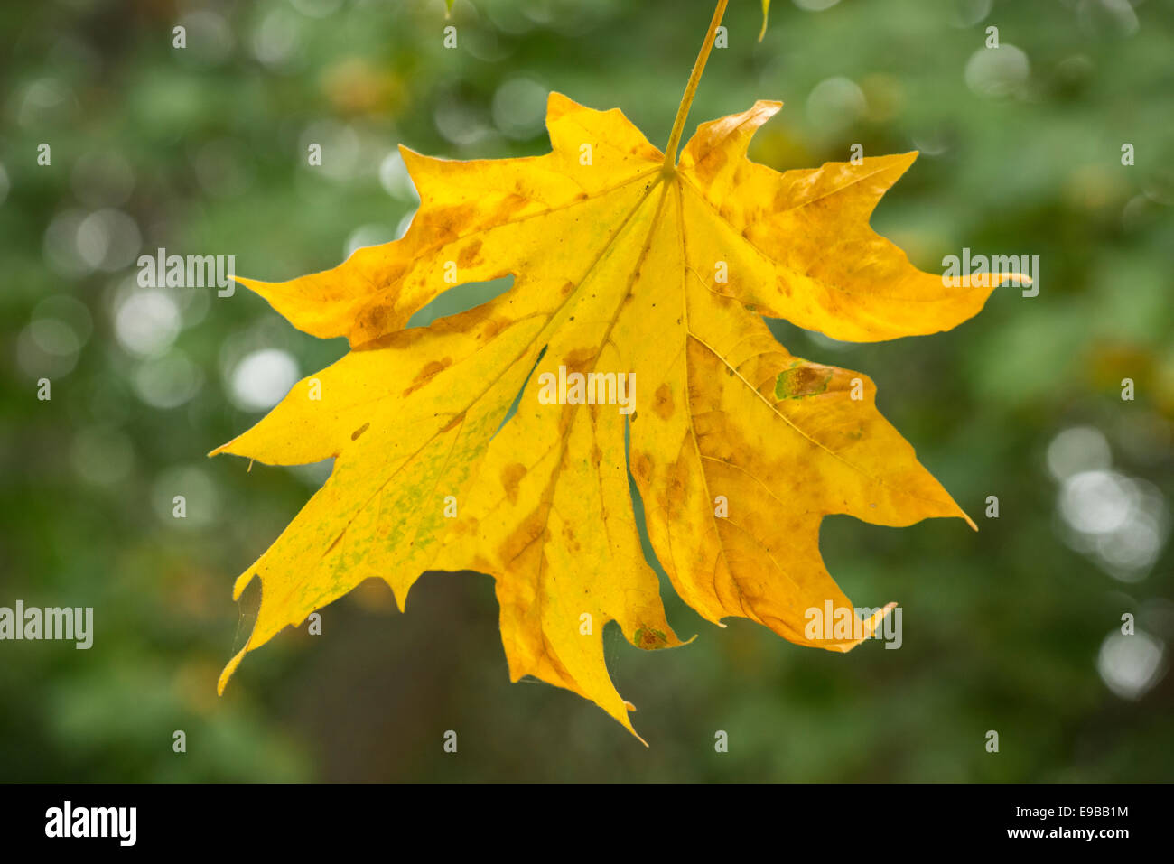 Bigleaf maple tree leaf in autumn; Mount Pisgah Arboretum, Willamette Valley, Oregon. - Stock Image