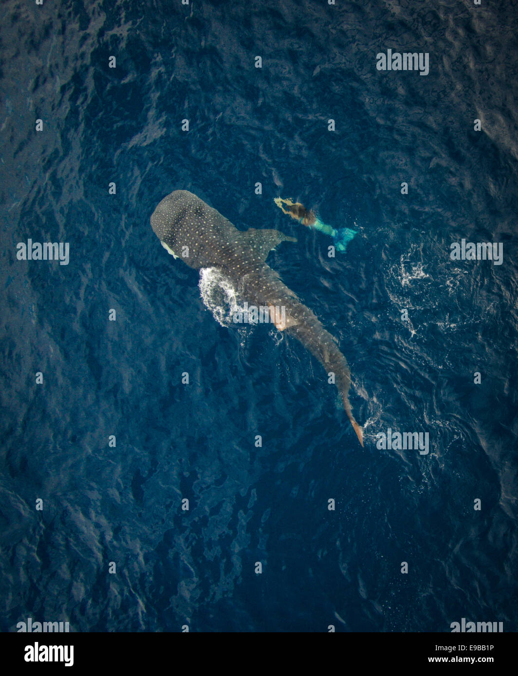 Aerial of a mermaid swimming along side a whale shark in the water off Isla Mujeres, Mexico - Stock Image