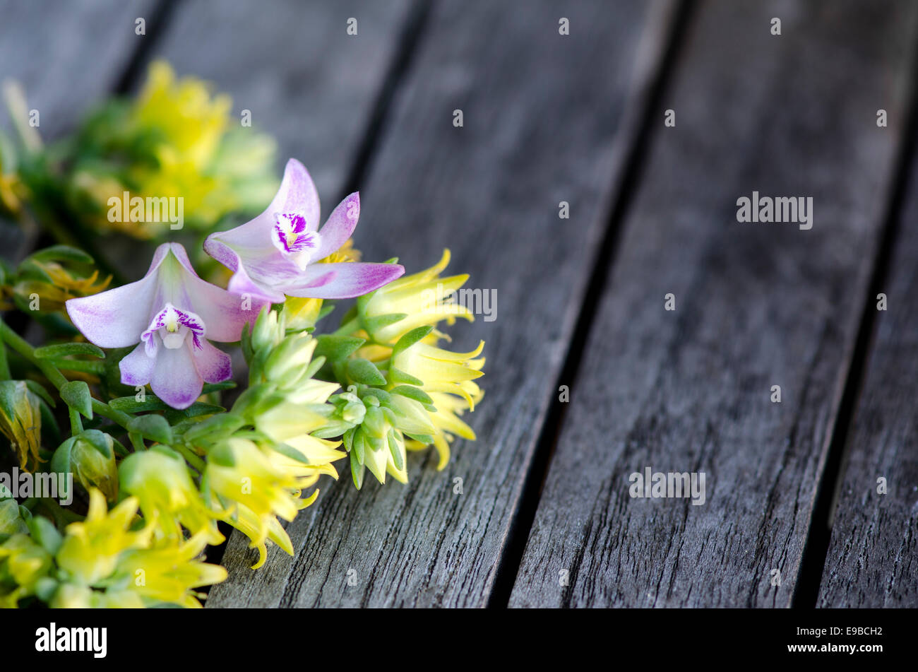 Orchids Amongst Yellow Succulents Flowers On Rustic Boards Stock
