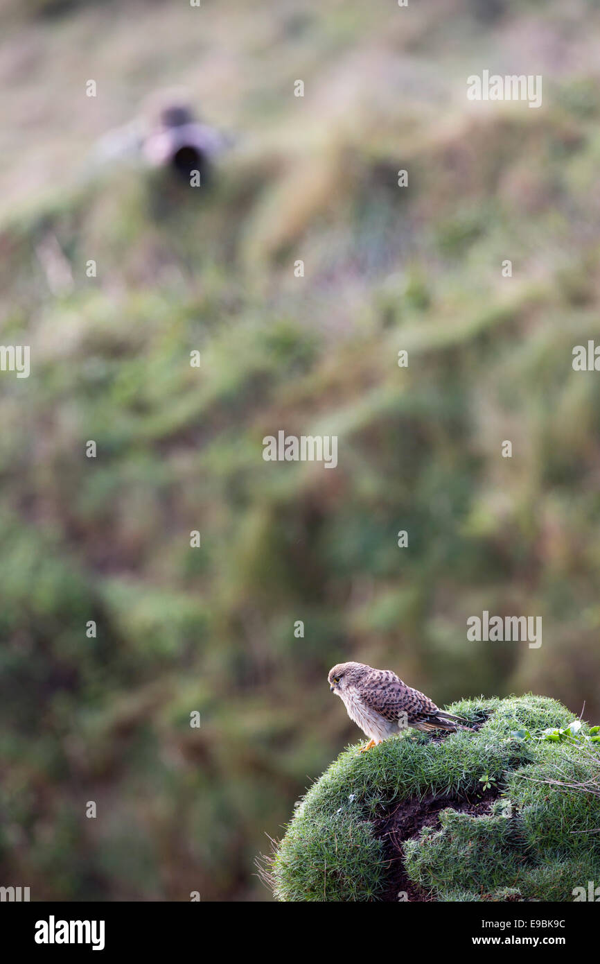 Kestrel; Falco tinnunculus; Being Photographed; Cornwall; UK Stock Photo