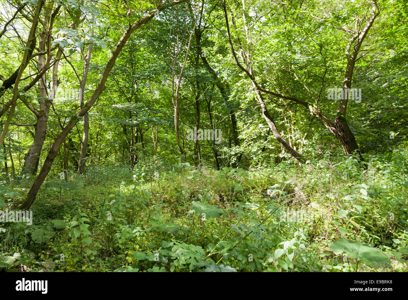 Dense woodland with a thick undergrowth, Cressbrook Dale, Derbyshire, Peak District National Park, England, UK Stock Photo