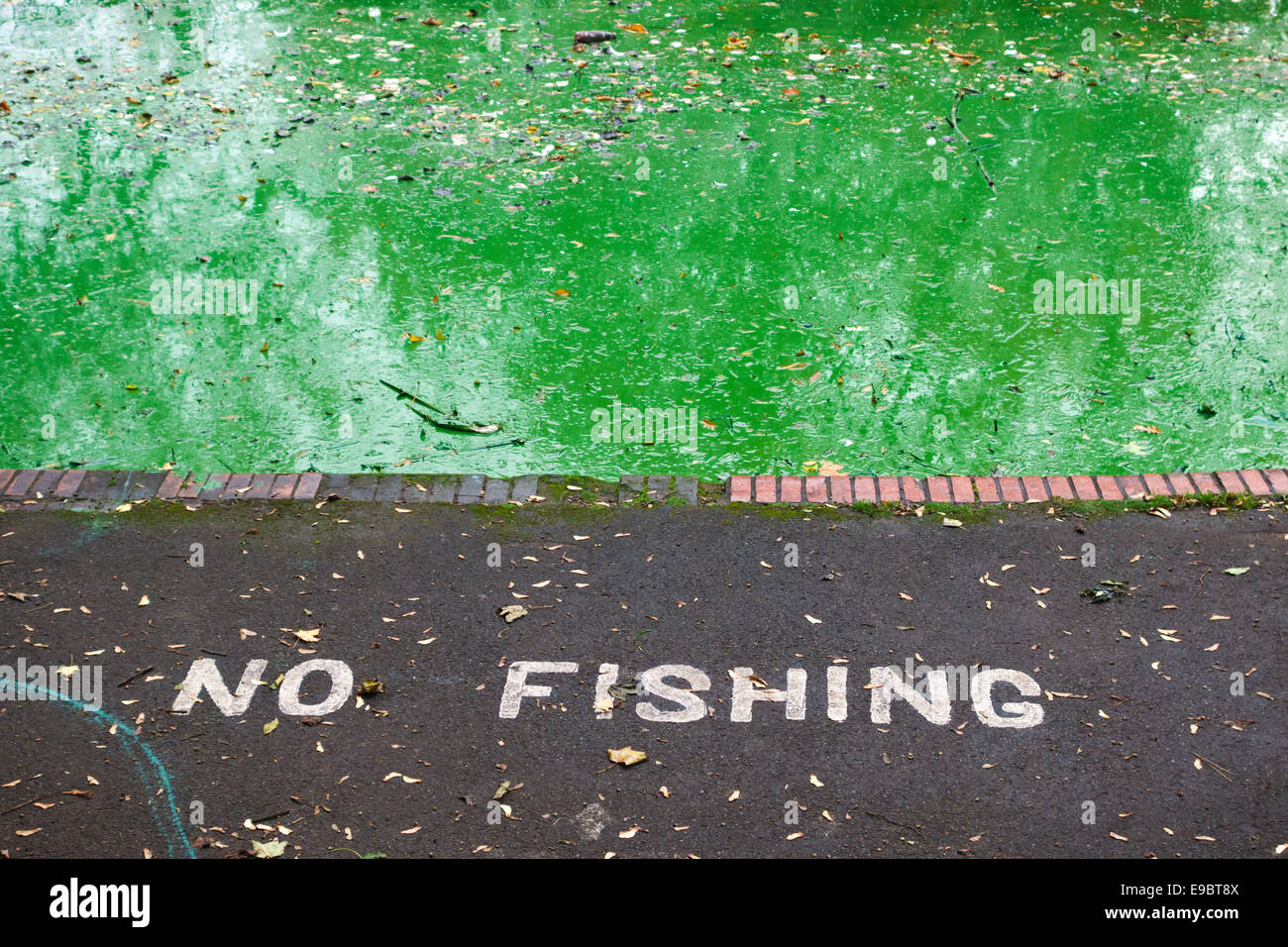 A thick scum of toxic blue-green algae (cyanobacteria) in a lake in a public park in Bristol, UK - Stock Image