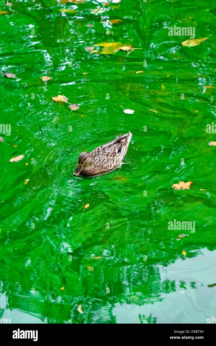 A female mallard duck swims on a thick scum of toxic blue-green algae (cyanobacteria) in a lake in a public park - Stock Image