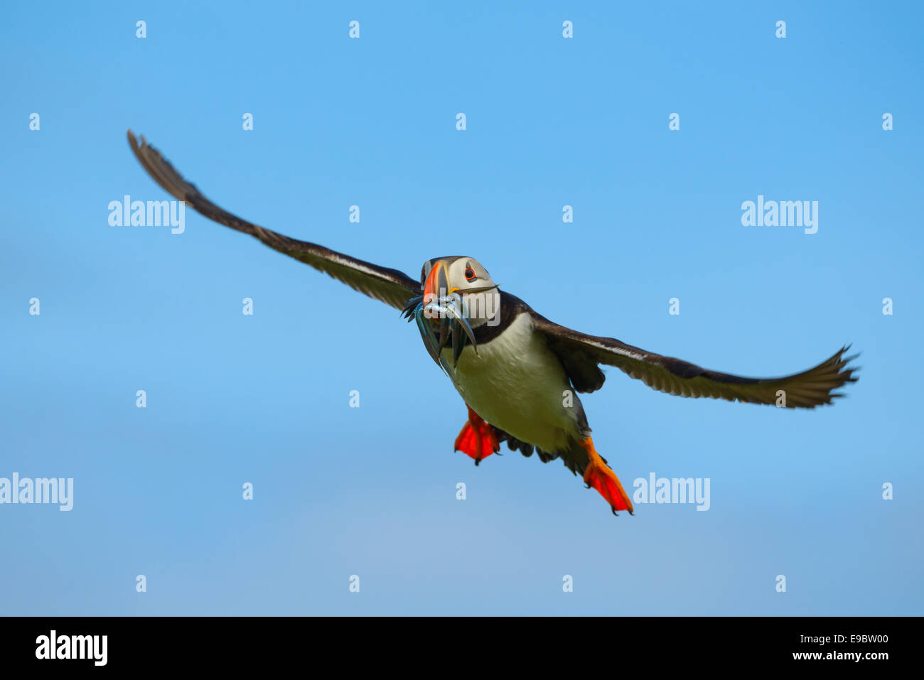 Atlantic Puffin gliding with a beak full of sand-eels sand eels, its normal diet, as it glides back to its nest. - Stock Image