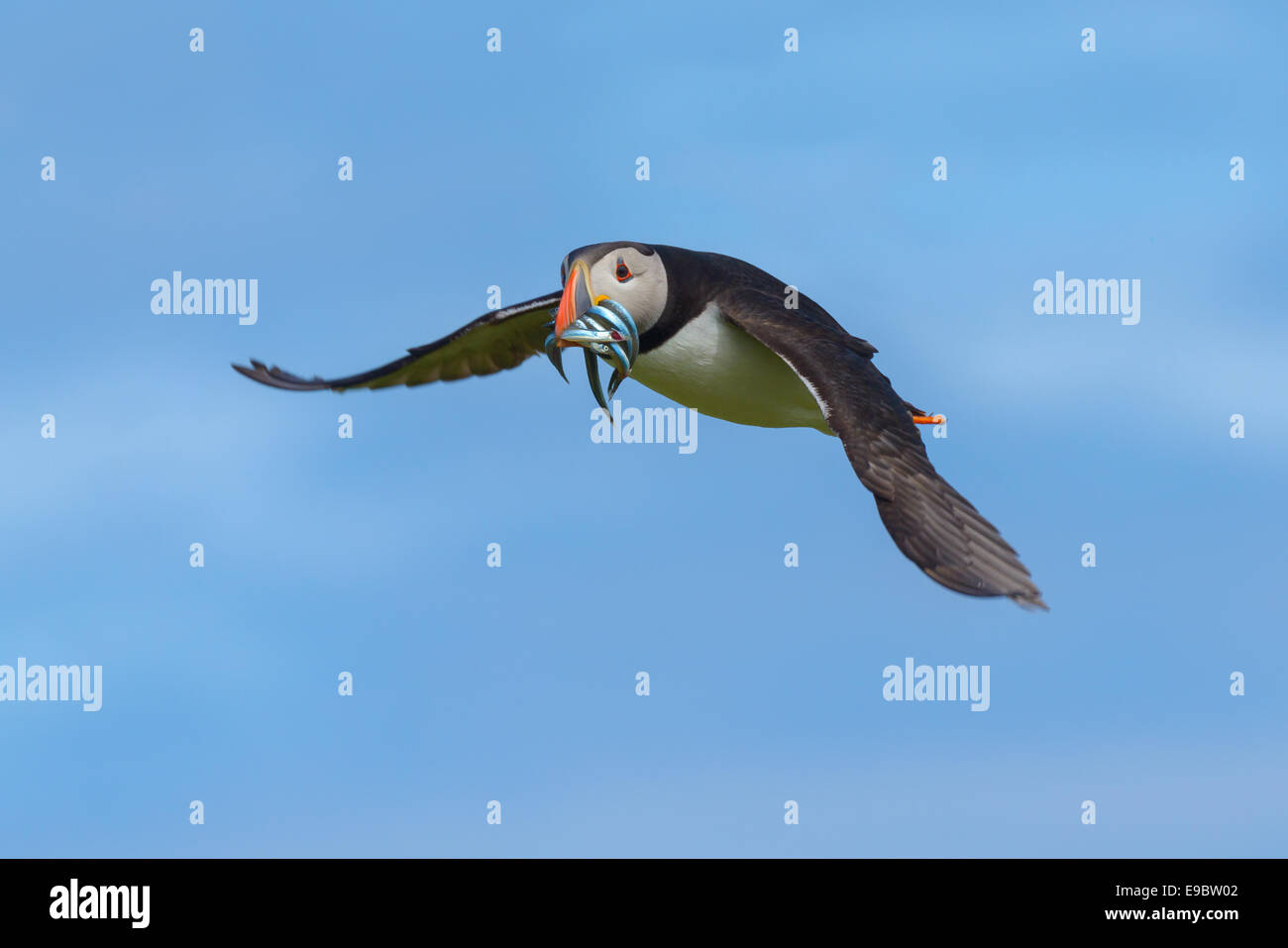 Atlantic Puffin (Fratercula arctica) flying with a beakful of sand-eels, its normal natural diet. British birdlife. Stock Photo