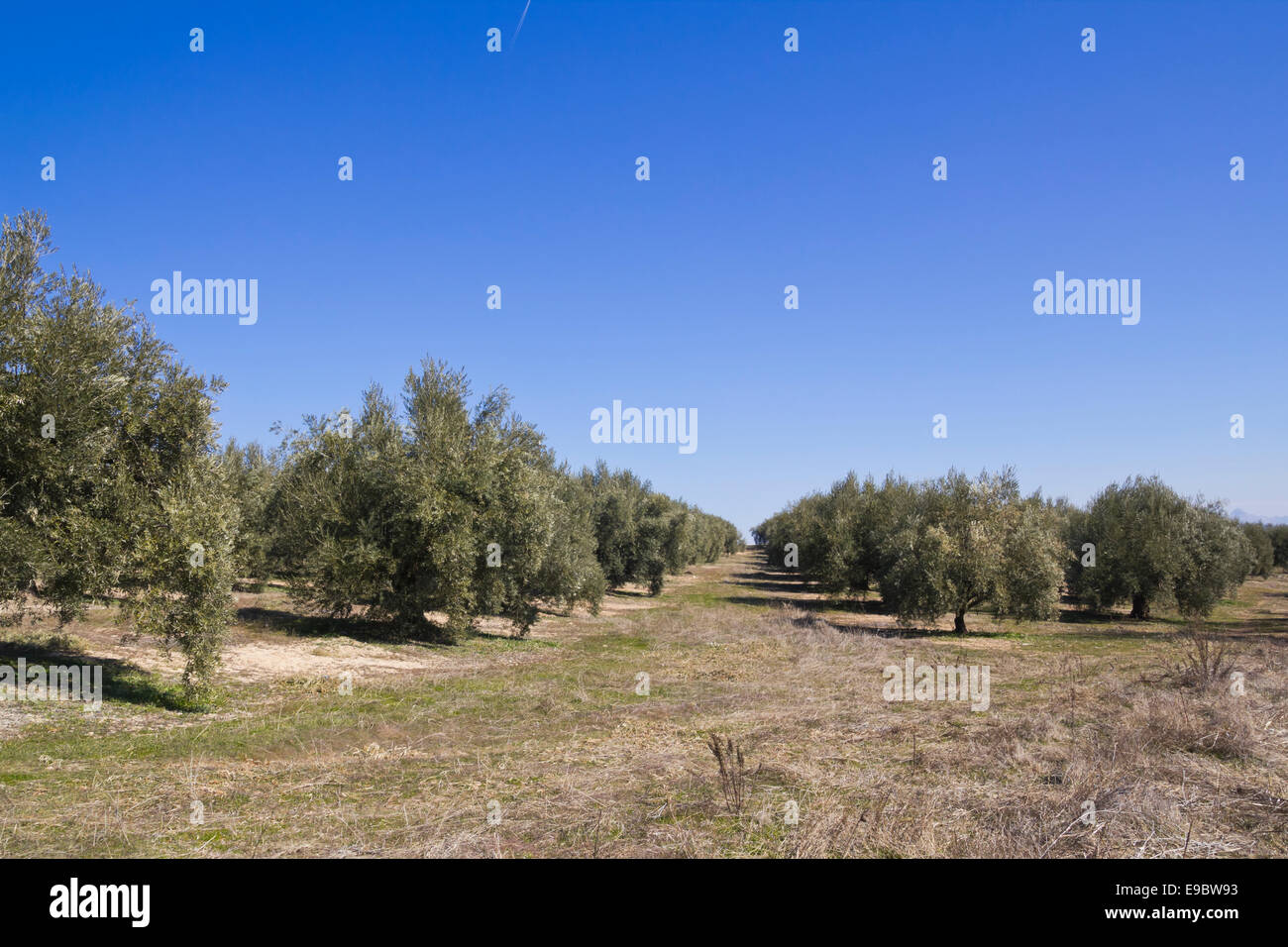 an olive grove in Sevilla. Andalusia zone, Spain. - Stock Image